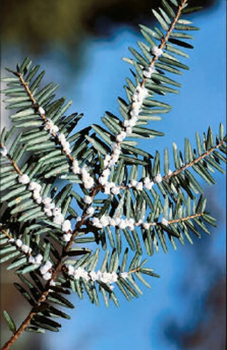 Horticultural oil for hemlock:  woolly adelgid is a tiny insect that is closely related to aphids. It has a piercing-sucking mouth type and feeds on plant sap.Dormant oil for fruit trees:  protect trees from overwintering pests, larvae and eggs, which improves success with controlling pests during the growing season  -