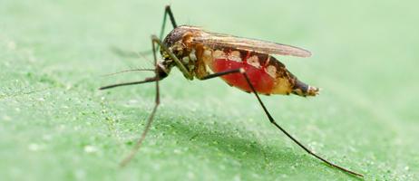 mosquito-462x200.jpg