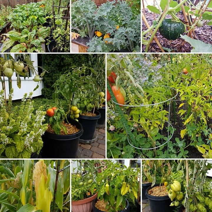 Some of what is still growing in my garden! Many plants were planted late, but with these basic frost protection techniques, I can extend my season for a while (as long as we don't drop much below zero)!