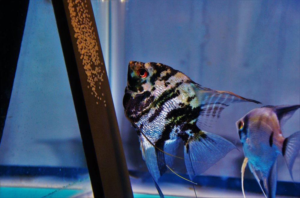 Angelfish Discus