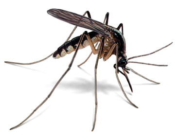 Mosquito Control for the Back Yard