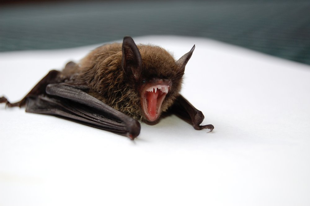 Bats in the Back Yard: Myths