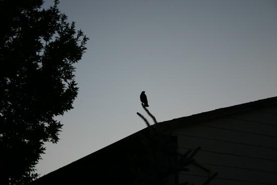 solobird