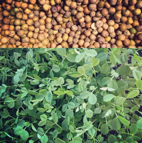 Microgreens: Pea Shoots