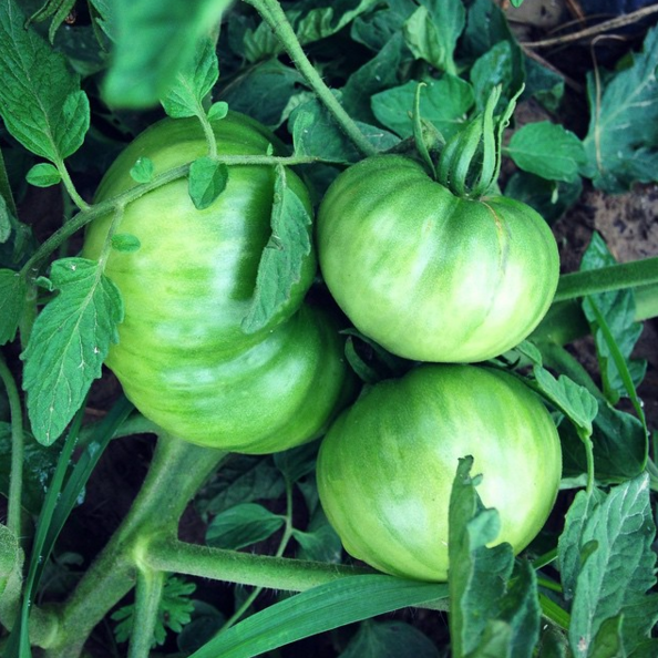 Tomatoes: Green