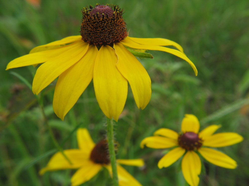 blackeyed-Susan_photocredit_jaimegonzález.jpg
