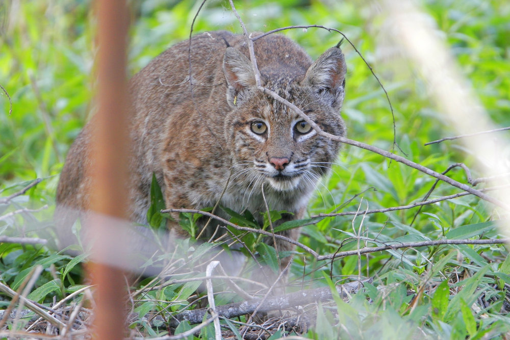 bobcat_photo credit_greglavaty.jpg