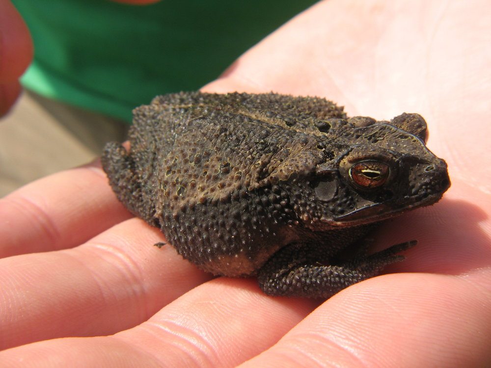 coastalplaintoad__photocredit_jaimegonzález.jpg