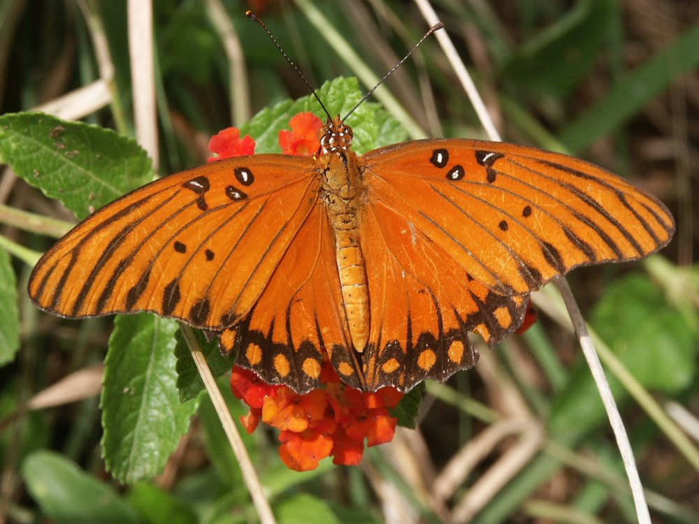 gulffritillary_photocredit_wallyward.jpg