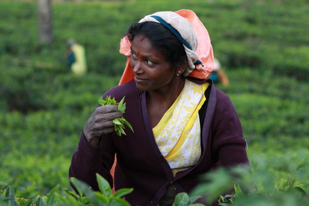 Sri Lanka - tea plantation.jpg