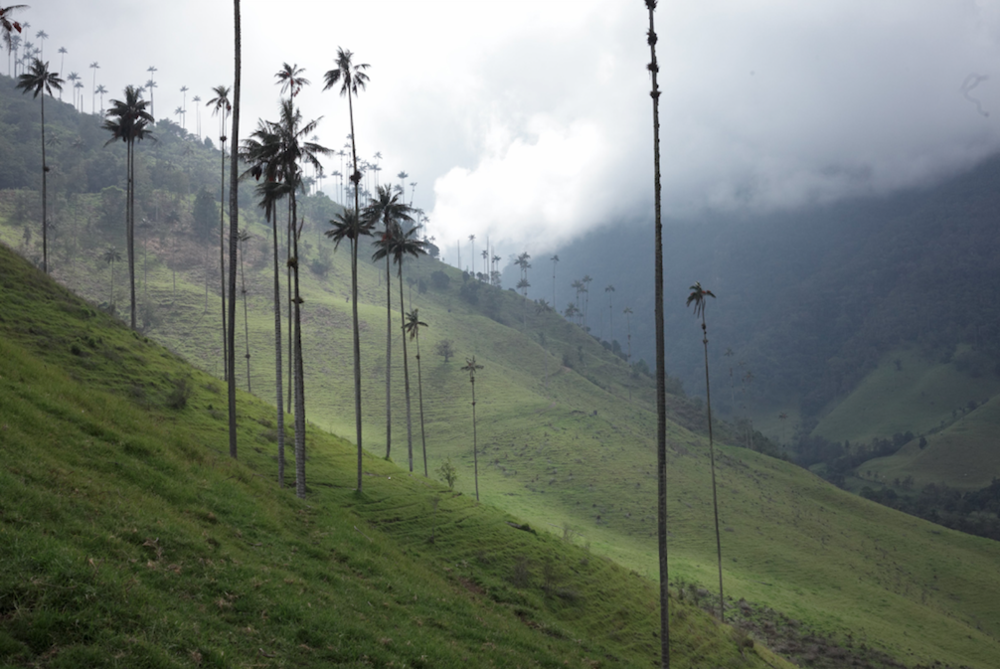 the one and only wax palms (#foreverpalmita!) in valle cocora
