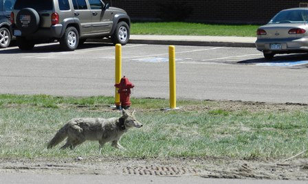 A collared-coyote walking by a parking lot and street midday (photo: Sharon Poessel)