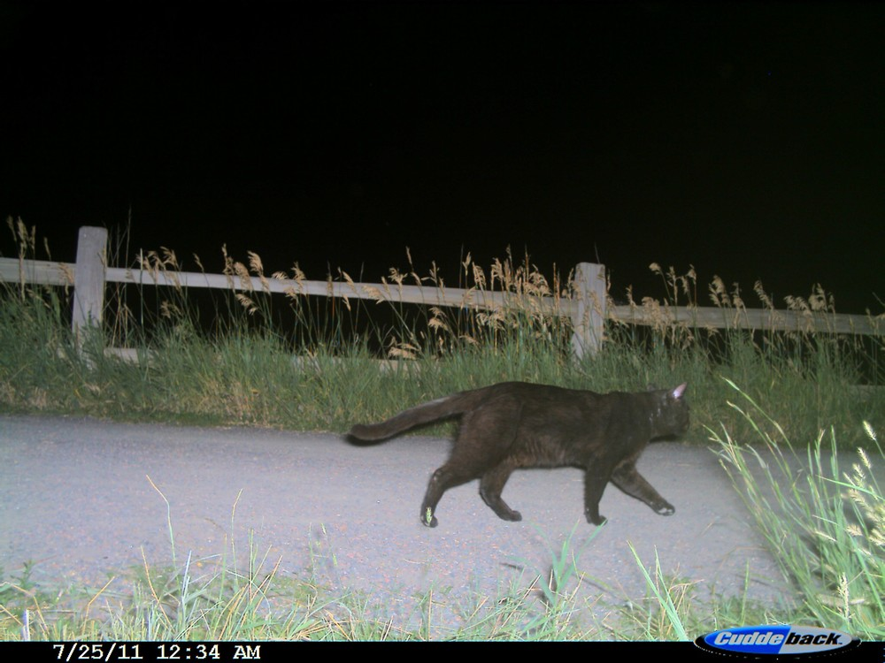 Domestic cat roaming a bike trail in Boulder, CO for a camera trap study led by A. Gramza (photo: Ashley Gramza)