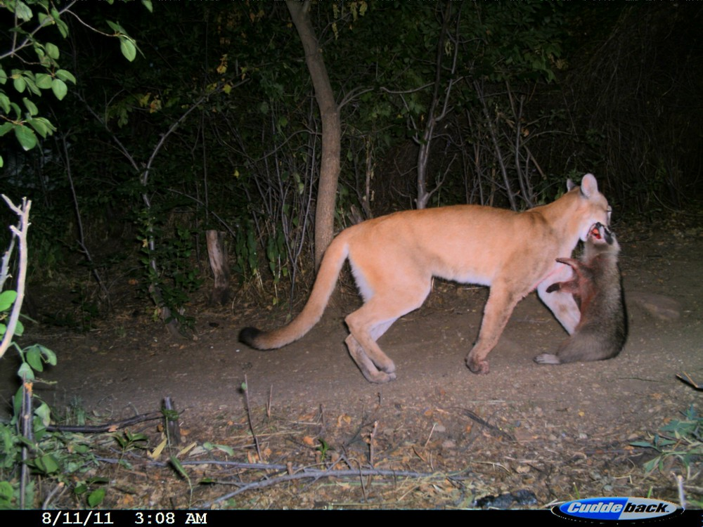 Mountain lion with raccoon kill in Boulder, CO (photo: Ashley Gramza)