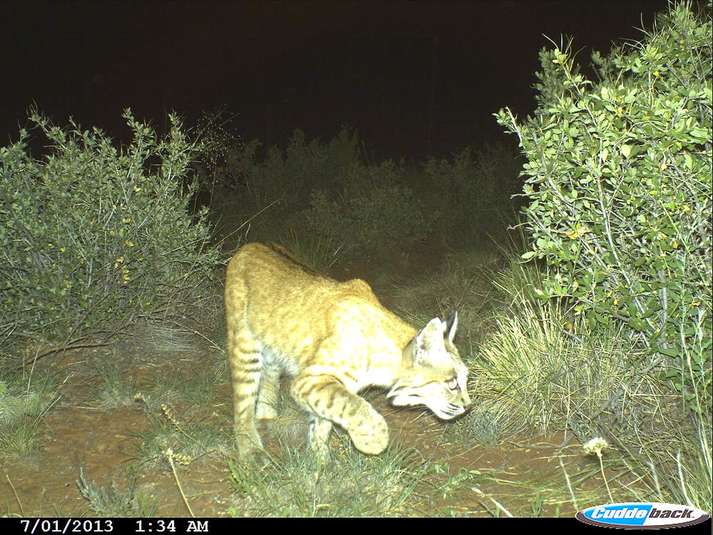 Bobcat searching around the camera trap area (photo: Ashley Gramza)