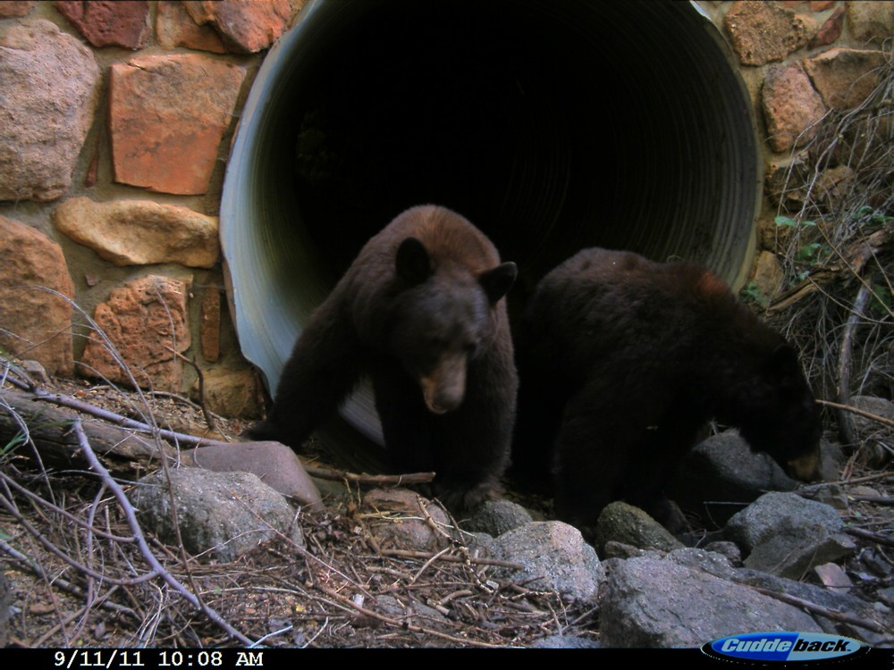 Two black bears inspecting a culvert site in Boulder, CO (photo: Ashley Gramza)