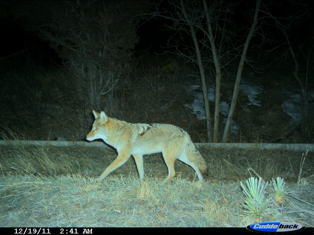 A coyote travels along open space in Boulder, CO (photo: Ashley Gramza)
