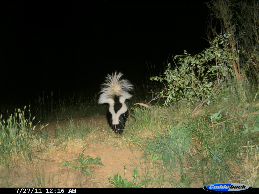 A skunk inspects an area in front of camera trap station (photo: Ashley Gramza)