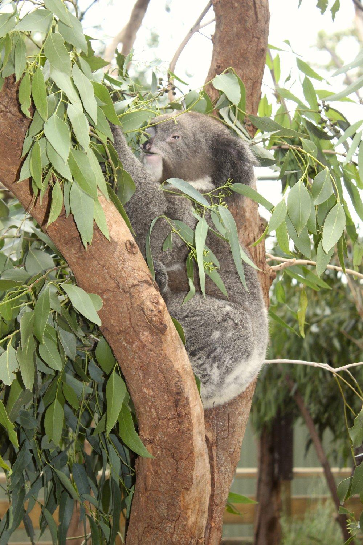 munchin' koala