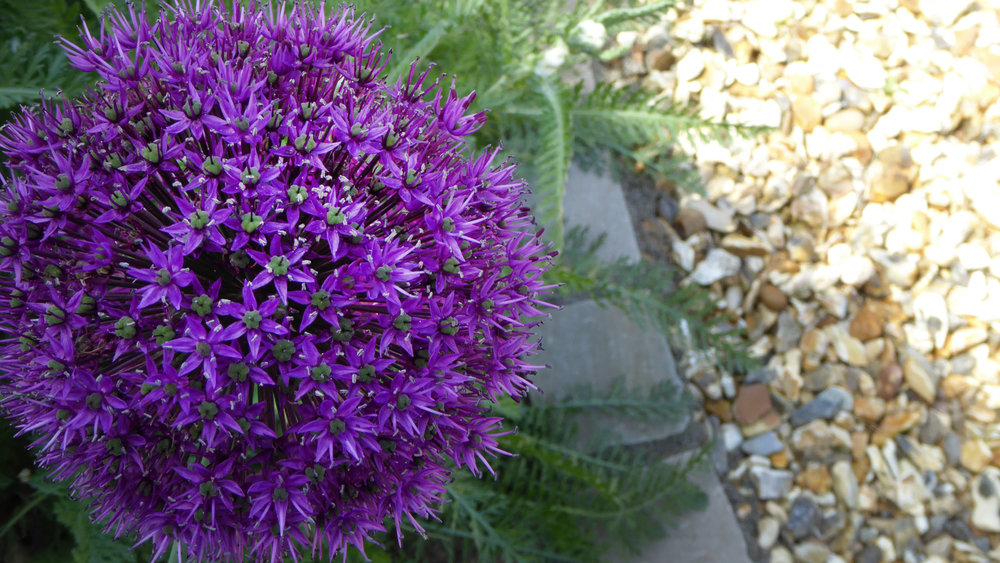 Cheshire Garden Design: Interlocking Curves and Acer (Front Garden) Allium