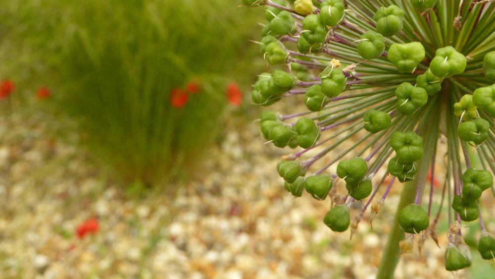 Cheshire Garden Design: Interlocking Curves and Acer (Front Garden) Allium head after flowering