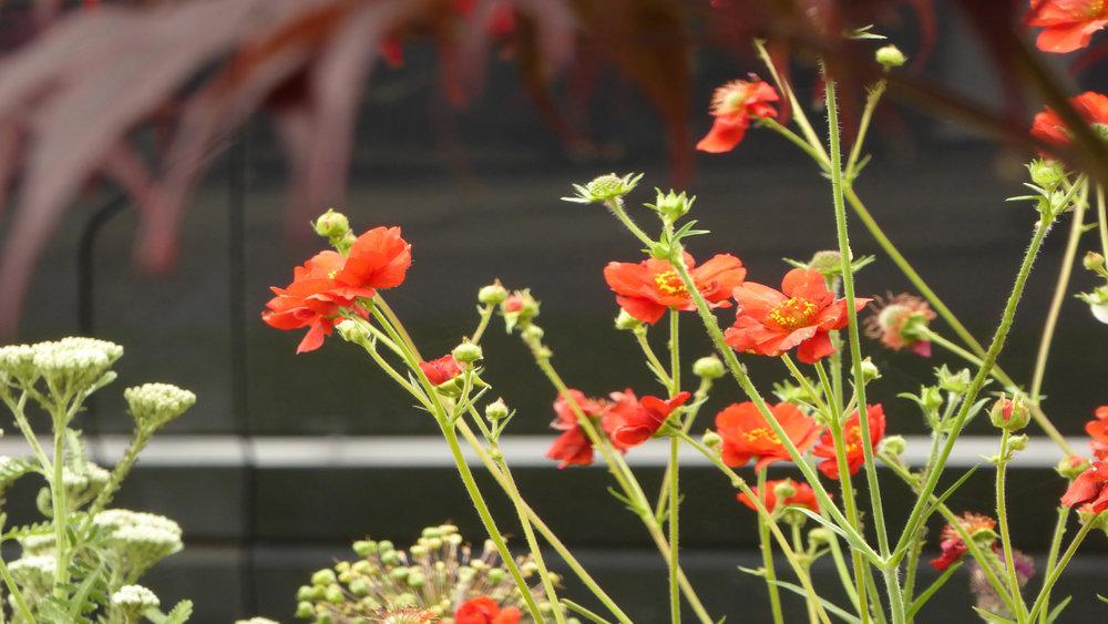 Cheshire Garden Design: Interlocking Curves and Acer (Front Garden) Geum