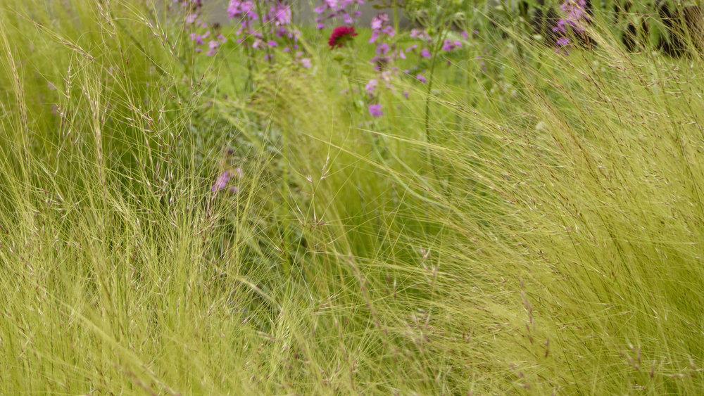 Cheshire Garden Design: Interlocking Curves and Acer (Front Garden) Stipa tenuissima