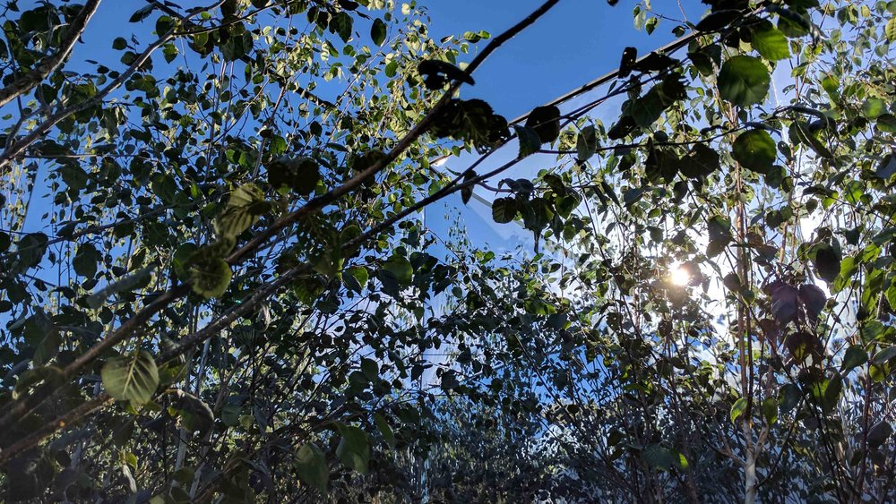 9 SouthportFlowerShow2017 - Mirror Trees.jpg