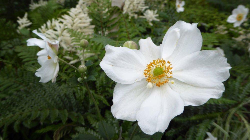 Southport Garden Design: Kuro: Anemone x hybrida 'Honorine Jobert'