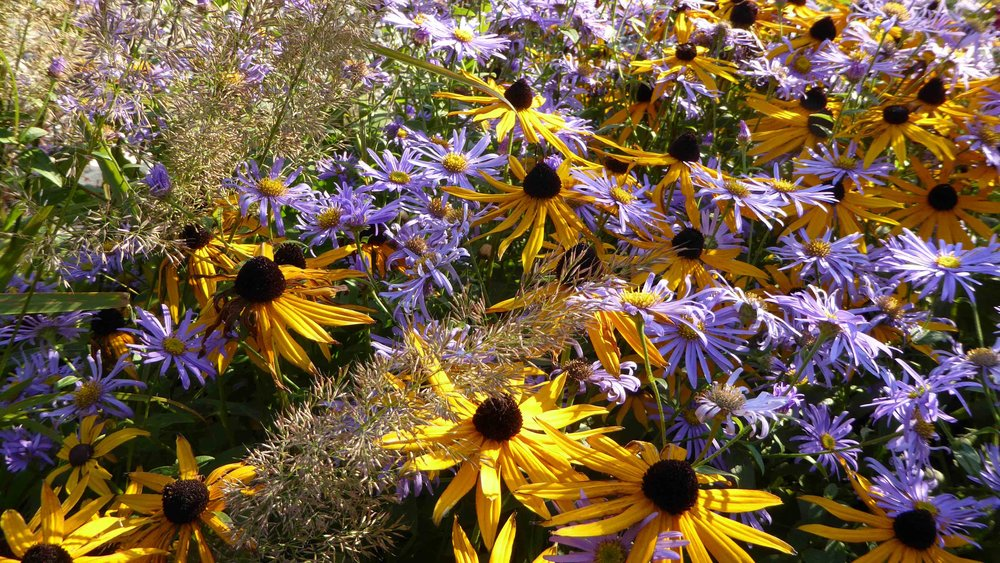 Cheshire Garden Design: The Sun and Shade Garden: Rudbeckias, Asters and Grasses
