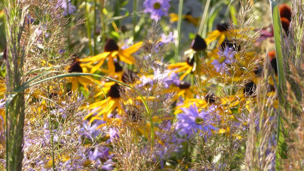 06 Grasses and Rudbekia.jpg