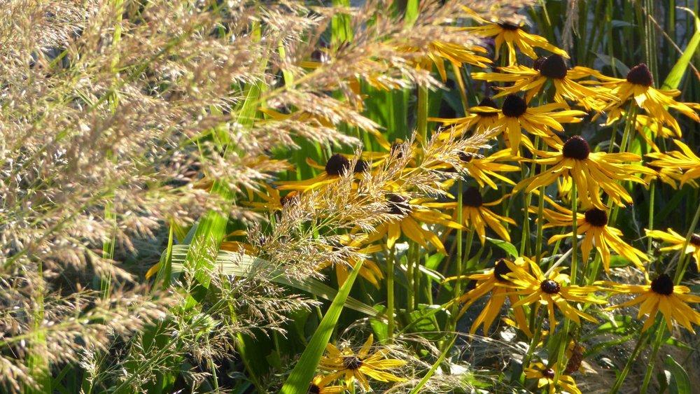 Cheshire Garden Design: The Sun and Shade Garden: Rudbeckias and Grasses