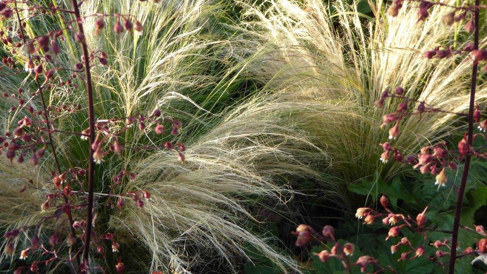 Cheshire Garden Design: The Sun and Shade Garden: Stipa and Heuchera