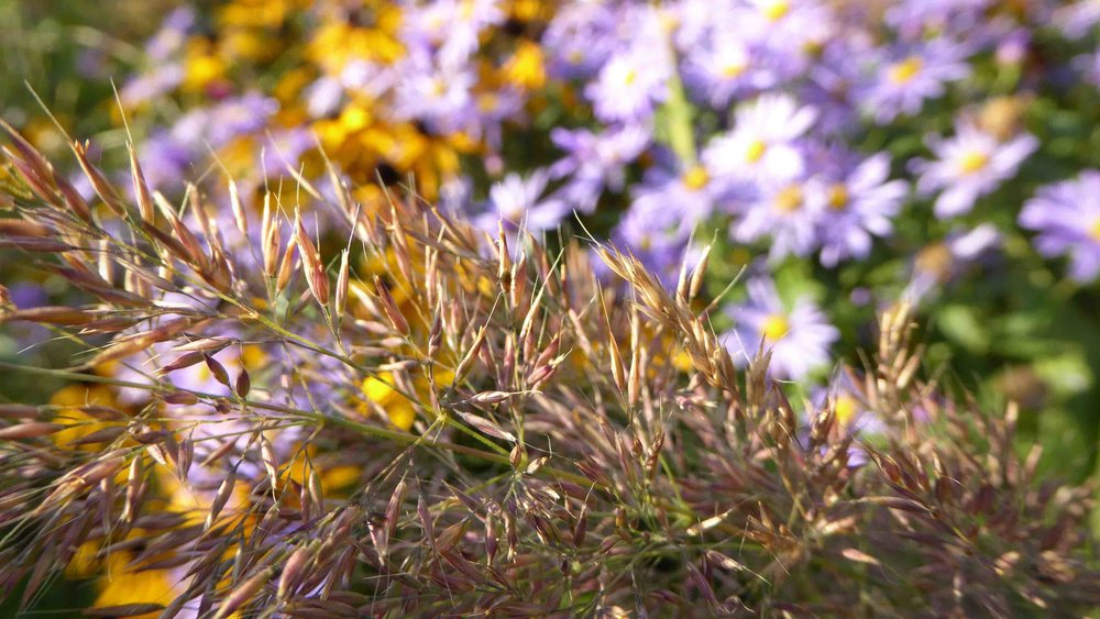 Cheshire Garden Design: The Sun and Shade Garden: Asters, Rudbeckias And Grasses