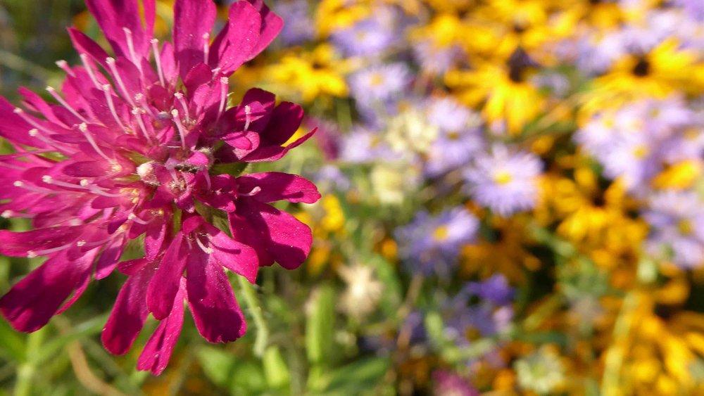 Cheshire Garden Design: The Sun and Shade Garden: Scabiosa atropurpurea 'Chile Pepper'