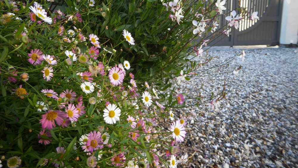 Cheshire Garden Design: The Sun And Shade Garden: Drive And Erigeron karvinskianus With Gaura In Raised Bed