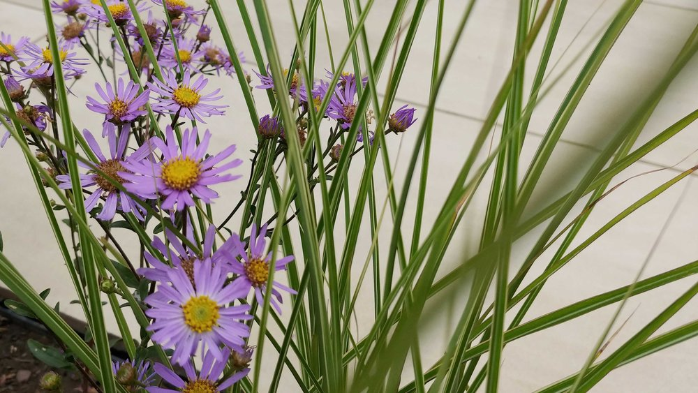 Garden Design Cheshire: Prairie Planting And Porcelain Patio: Asters In The Border