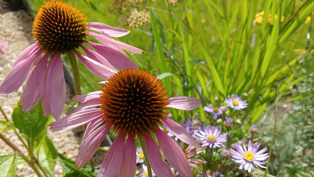 Garden Design Cheshire: Prairie Planting And Porcelain Patio: Echinacea purpurea