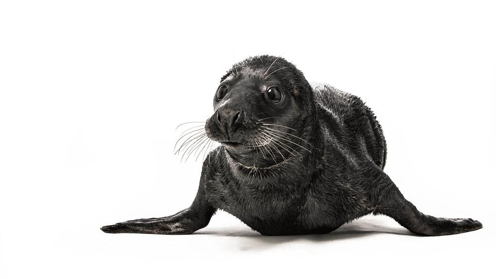 Rare black seal (melanism) Sealhospital Pieterburen (NL)