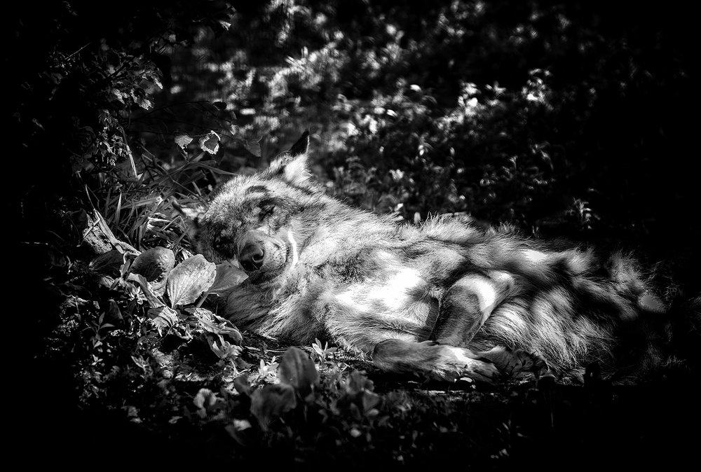 wolf-06062016-4602-zw.jpg