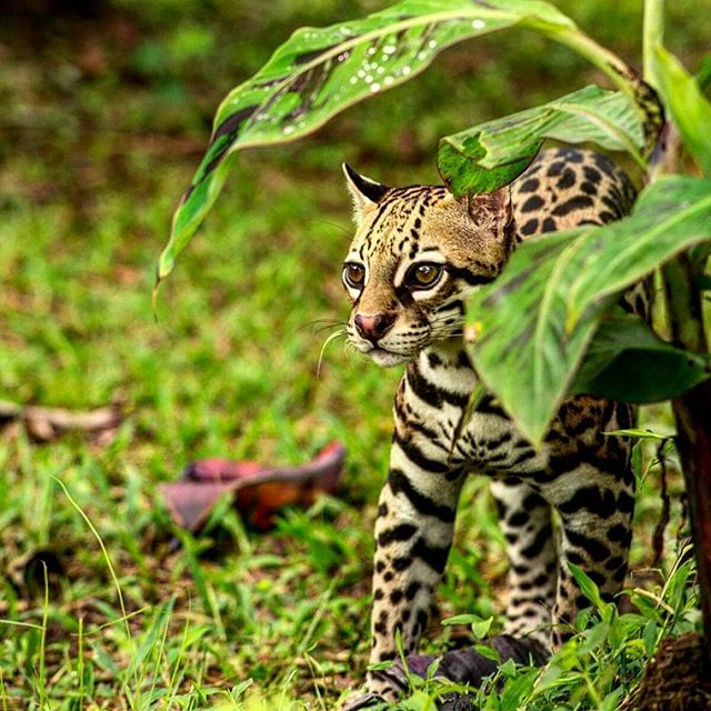 Ocelots aren't a common sighting down here... but maybe it'll be your lucky day! 😻 . . . . . . . #digitalnomad #remotelife #remotework #freelancelife #remoteyear #wifilifestyle #travel #startupgrind #coworking #coliving #digitalnomadgirls #travellerswhowork #remoteoffice
