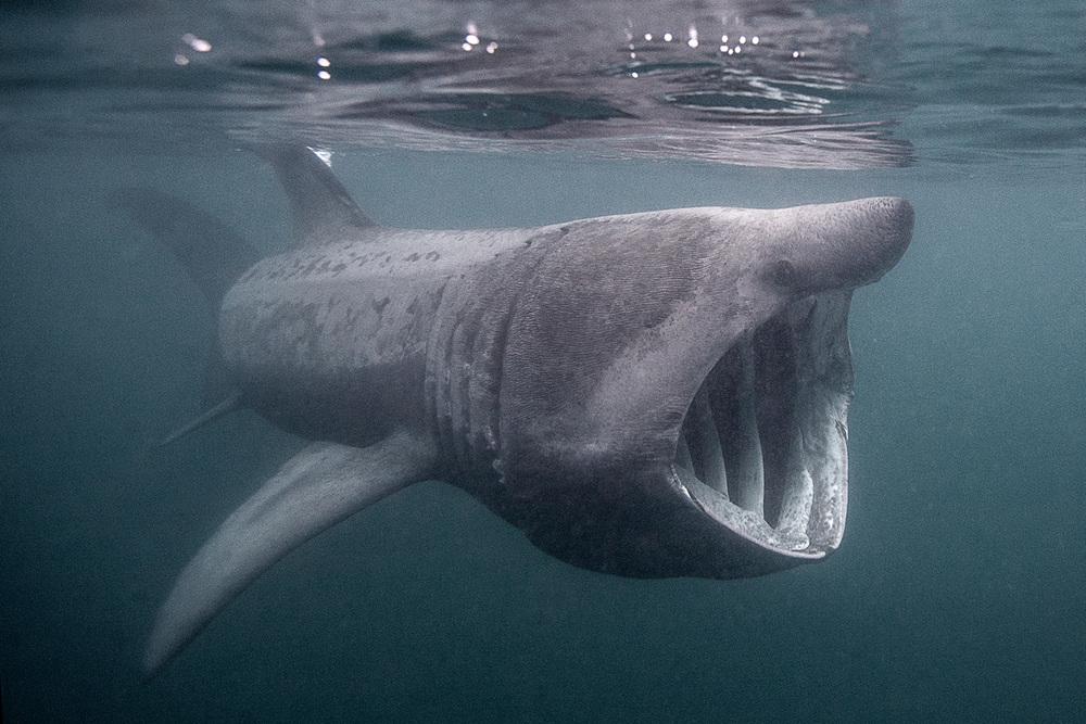 basking shark.jpg