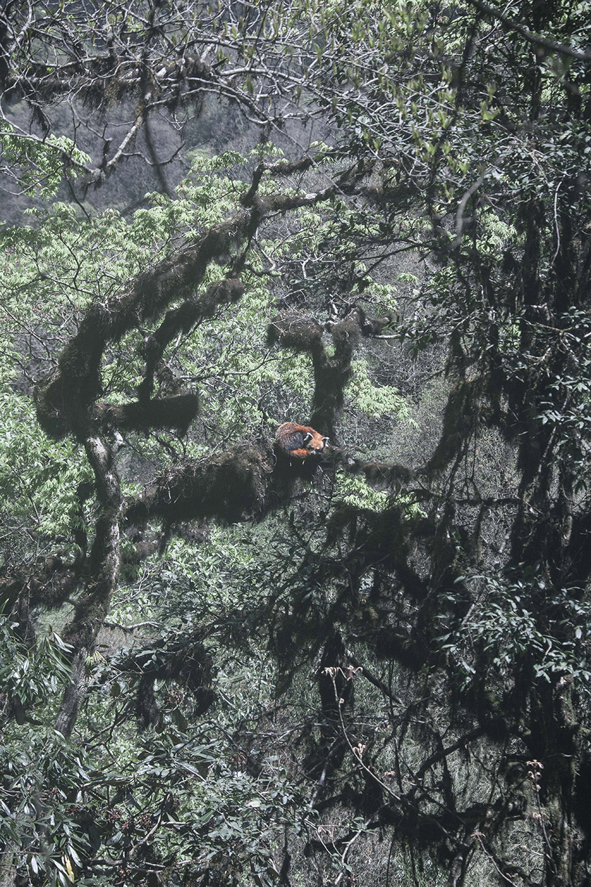 red panda roux mazille wildlife photographer arte aventures en terre animale 2.jpg