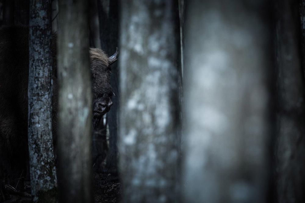 mazille wildlife photographer animalier aventure en terre animale bison 02.jpg