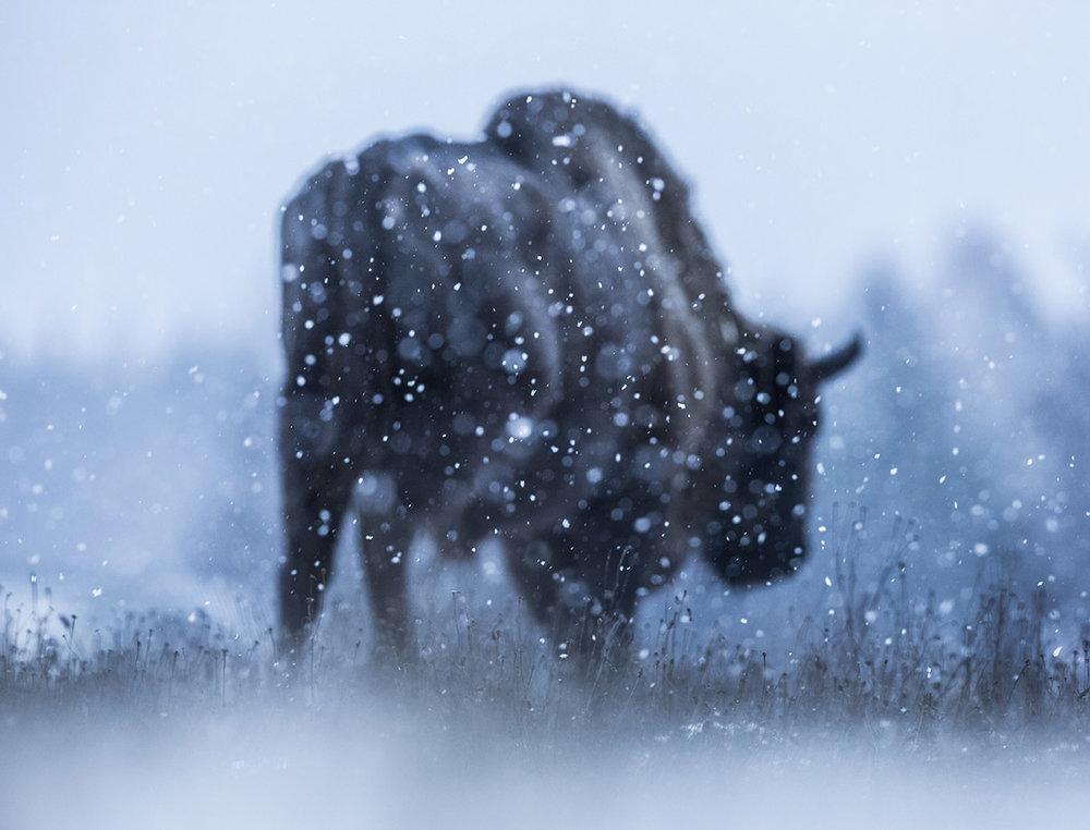 mazille wildlife photographer animalier aventure en terre animale bison 04.jpg