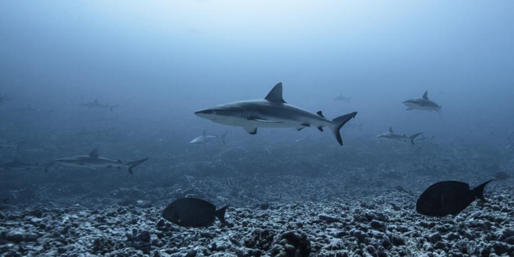 Un premier requin vient nous checker, suivi par bien d'autres