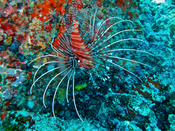 Lionfish, Maldives