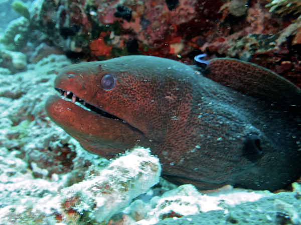 Moray Eel, Indonesia