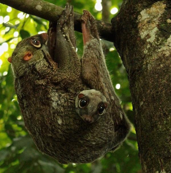"Flying Lemur ""Colugo"", Malaysia"