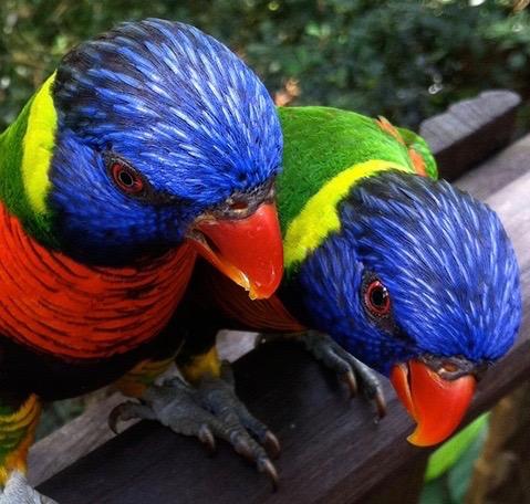 Parrots, Malaysia